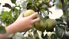 Pear fruit picking. Hand picking pear fruit from tree branch by summer evening stock video