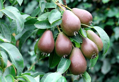 Pear fruit on the tree in the fruit garden Royalty Free Stock Image