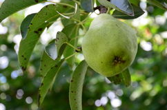 Pear fruit on the tree in the fruit garden Stock Image