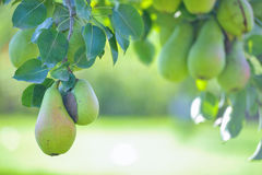 Pear fruit on the tree in the fruit garden Royalty Free Stock Photos