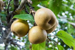 Pear fruit on the tree Stock Photos
