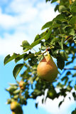 Pear fruit on the tree in the garden on a sunny day. Stock Images