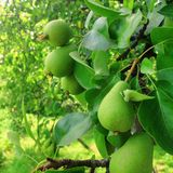 Pear fruit on the tree stock images