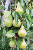 Pear fruits on the branch. Lot of green pears on a tree branch closeup of fruits stock images