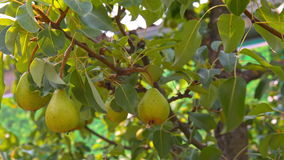 Pear fruits hanging on a tree moving in the wind stock video