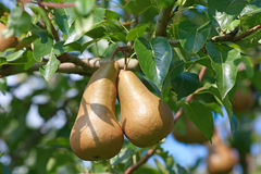 Pear garden Royalty Free Stock Photos