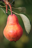Pear in garden. The mature pear hanging on a branch Stock Images