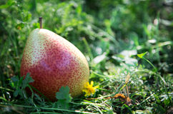 Pear in the grass stock image