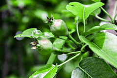 Pear. Green pear twins have only begun to grow Royalty Free Stock Images