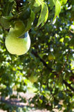 Pear growing on the branch Stock Photo