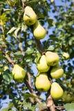 Pear growing in garden Royalty Free Stock Photos
