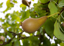 Pear growing on tree. Pear ripening and growing in an orchard Stock Photo