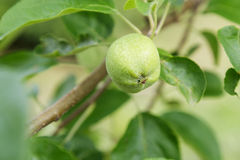 Pear growing on the tree Royalty Free Stock Photo