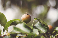 Pear growing on tree in garden. Pear on a branch Royalty Free Stock Images