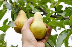 Pear in hand Royalty Free Stock Images