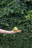 Pear in hand against green leaves Royalty Free Stock Photos