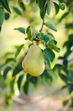 Pear hanging from a tree Royalty Free Stock Images