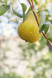 Pear hanging from a tree Stock Photos