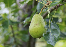 Pear hanging in a tree Stock Photo