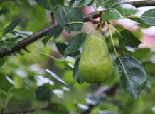Pear hanging in a tree Royalty Free Stock Image