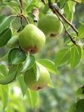 Pear Hangover Royalty Free Stock Photo