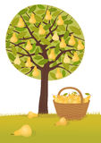 Pear harvest. Pear tree and a basket full of pears Royalty Free Stock Photography