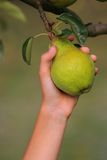 Pear harvest Stock Photography