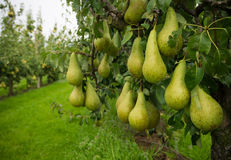 Pear harvest Royalty Free Stock Images