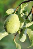 Pear hung on tree Royalty Free Stock Photo
