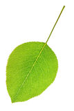 Pear leaf Royalty Free Stock Photo
