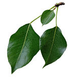 Pear Leaf Royalty Free Stock Photos