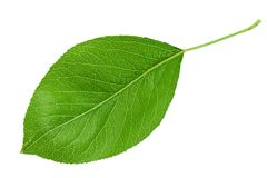 Pear leaf closeup on white Stock Photos