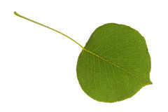 Pear leaf on isolated Royalty Free Stock Photo