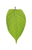 Pear leaf Stock Images