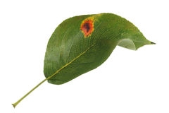Pear rust. Pear leaf showing fungal pear rust infection, isolated on a white background stock photos