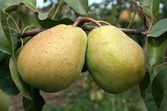 PEAR AND LEAVES Royalty Free Stock Image
