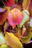 Pear Leaves. Wet, fallen red leaves of a pear tree stock photo