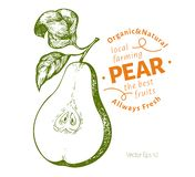 Pear with leaves. Hand drawn vector garden fruit illustration. Engraved style fruit. Retro botanical illustration vector illustration