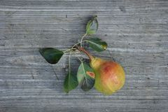 Pear with leaves on a wooden table. Grown pear with leaves on a gray wooden table royalty free stock photography