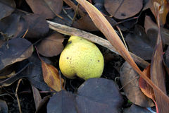 Pear lying on the ground strewn Royalty Free Stock Photos
