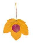 Pear and maple autumn leaf isolated on white Stock Image