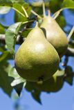 Pear Orchard Stock Photography