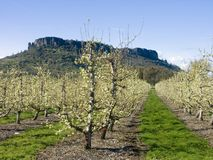 Pear Orchard in Bloom Royalty Free Stock Photography