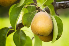 Pear Orchard - Closeup Stock Photography