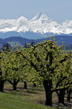 Pear Orchard and Mt Hood. View of Mt Hood and farm country in Oregon Royalty Free Stock Images