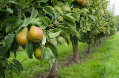 Pear orchard Royalty Free Stock Images