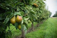Pear orchard Stock Photos