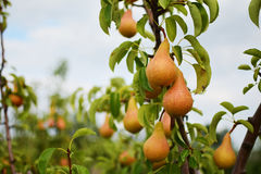 Pear orchard. Ripening pears hanging from the branches Stock Photos