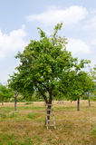 Pear orchard. royalty free stock photos