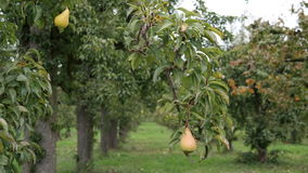 Pear orchard. Two pears in a orchard Stock Photography